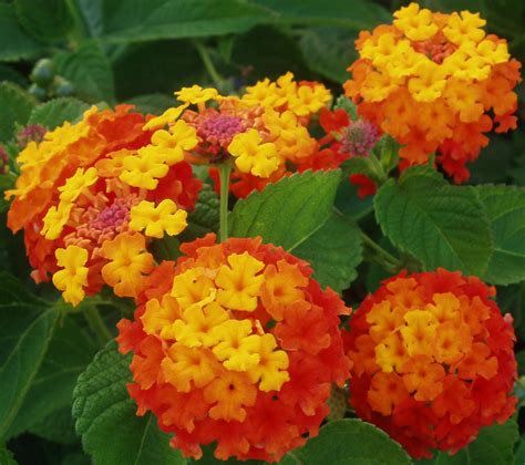 lantana plant foris project philippines lantana camara poisoning in cattle a south african experience