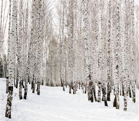 Ski In Einem Winter Birkenwald Laufen  Stockfoto Colourbox