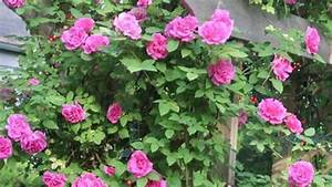Growing Roses : How to Plant Climbing Roses - YouTube