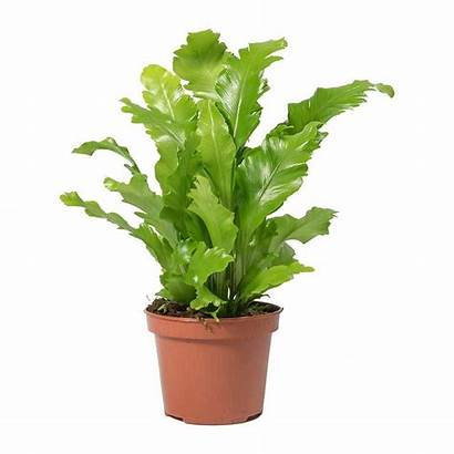 Fern Nidus Asplenium Nest Campio Plants Tropical