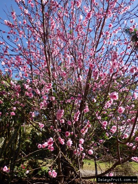 Prunus Flowering Peach Low Chill Tree - Prunus spp
