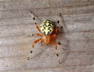 Are Marbled Orb Weaver Spiders Poisonous