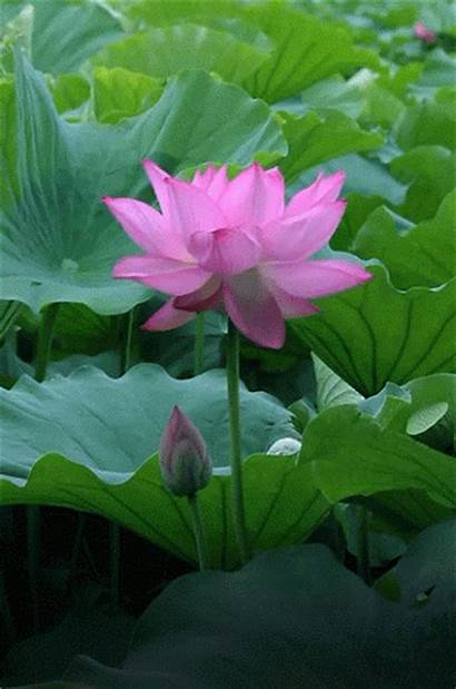 Flower Animated Flowers Gifs Animation Nature Pretty