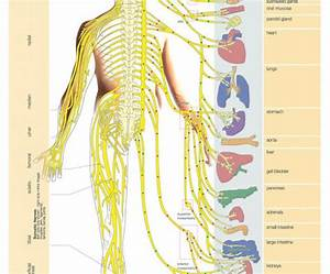 nervous system chart poster Quotes