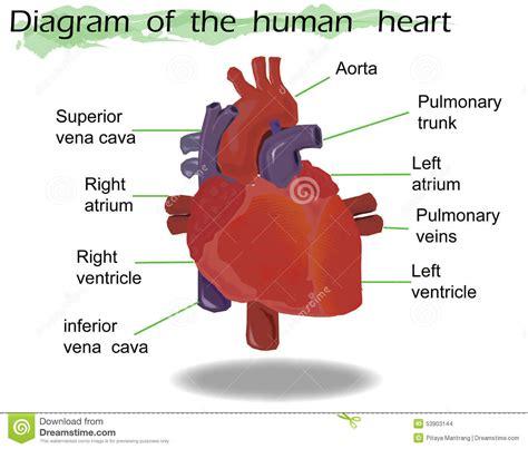 vektor menschliche herz anatomie vektor abbildung