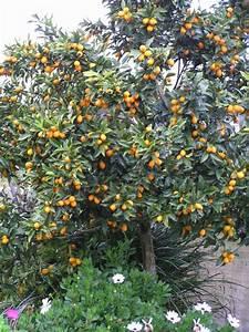 Pruning Citrus
