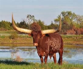 African Watusi Bull