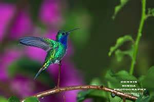 Male Hummingbirds Color
