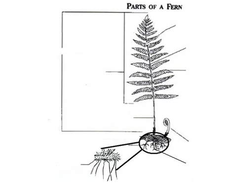 Parts Of A Fern