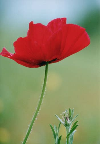 red poppy flowers picture lowres  images  clker
