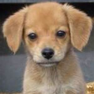 Pomeranian Beagle mix puppy | Cute animals :) | Pinterest ...