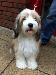 Tibetan Terriers Do They Shed by Best 25 Tibetan Terrier Ideas On Terrier