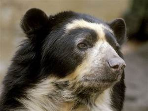 Spectacled Bear - The Great Bear