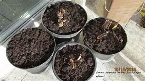 Canna Blüten Abschneiden : canna cleopatra green24 ~ Lizthompson.info Haus und Dekorationen