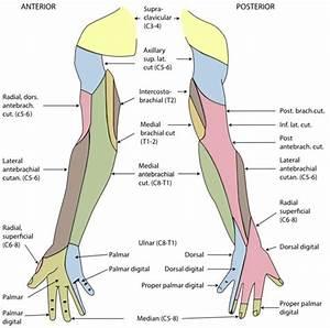 Spinal Nerves  Cervical  Thoracic  Lumbar  Sacral
