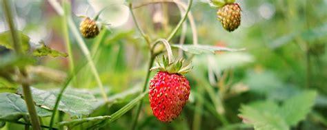 Erdbeeren Im Garten Winterfest Machen by Garten Winterfest Machen Pflanzen 252 Berwintern Tipps