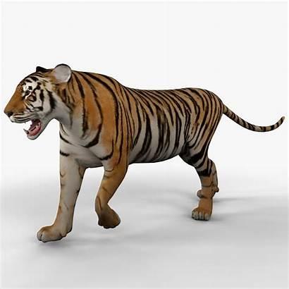 Tiger 3d Animal Rigged Models Turbosquid