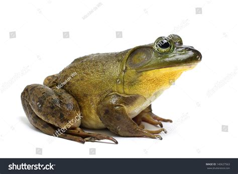Bull Frog On A White Background Stock Photo 140627563