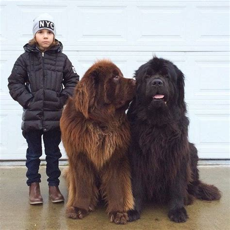 These Really Big Dogs Their Tiny Human Friend Are