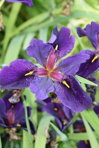 1000 ideas about iris for sale on mail order
