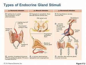 The Endocrine System Pages