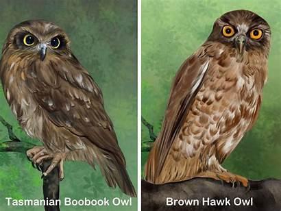Owl Boobook Southern Identity