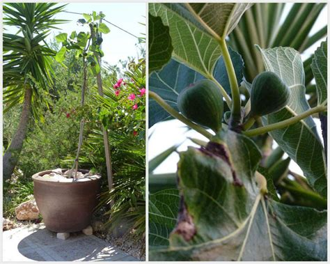 fig trees in pots portugal growing fruit and vegetables in pots june