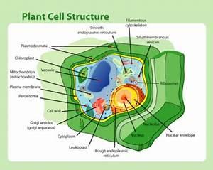 Cell (biology) - New World Encyclopedia