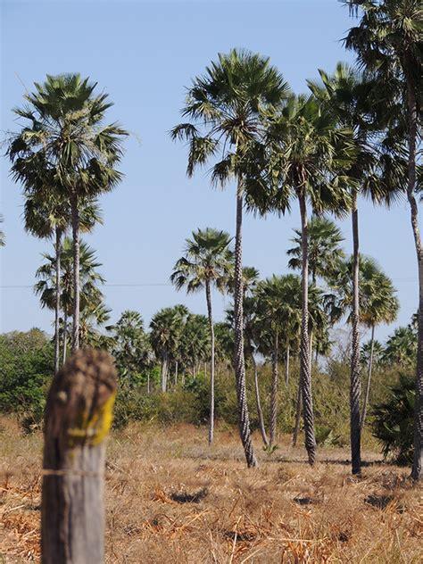 Em consulta pública, 49,1 % elegem a Carnaúba como árvore ...