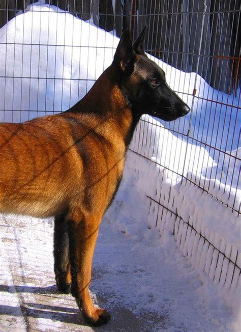 belgian malinois shedding season belgian malinois breeder malinger kennels breeds