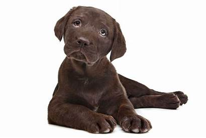 Lab Chocolate Puppy Names Dogs Lovetoknow