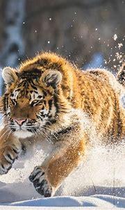 2048x2048 Cute Tiger Cub Running Ipad Air HD 4k Wallpapers ...