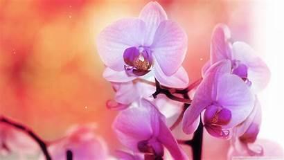 Orchid Downloadwallpaper