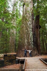 Giant Redwood Forest California
