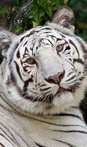 animals image by bianca | Cincinnati zoo, Tiger facts ...