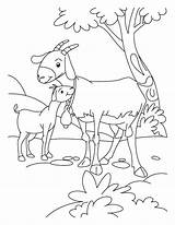 Goat Goats Coloring Billy Gruff Pages Farm Kid Animal Baby Three Cute Printable Animals Template Sheets Clipart Boer Mom Colouring sketch template