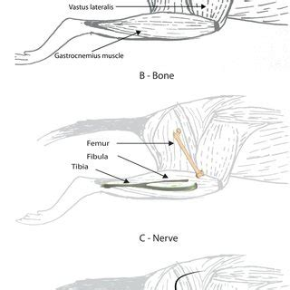 overview   anatomy   rat hind limb
