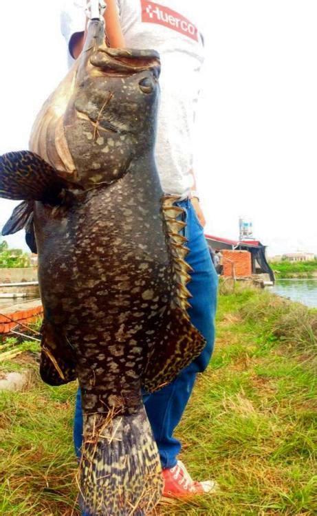 grouper king fish taiwan traveler fishing mike