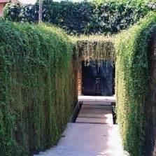 tanaman lee kwan yew curtain creeper tanaman hias daun