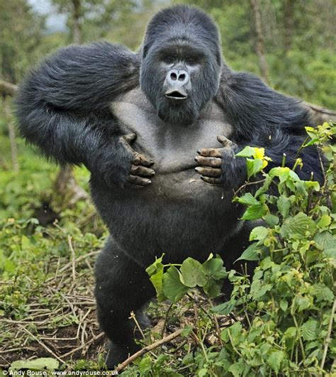 Where Do Silverback Gorillas Live