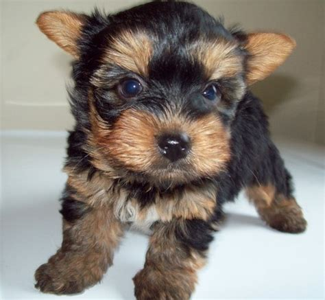cute dogs cute yorkshire terrier puppies
