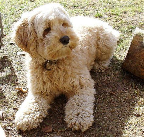 Do American Cockapoos Shed by Cockapoo Cocker Spaniel And Poodle Cross Breed Oh