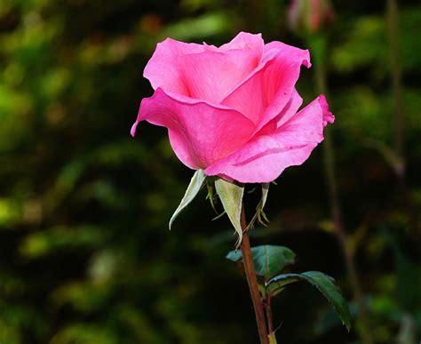 Rose Blossom Bloom · Free Photo On Pixabay
