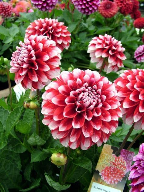 how to take care of dahlias in a pot tips dahlias plant care for winter and summer flowers interior design ideas ofdesign
