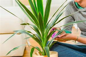 Yucca Palme Blüht : yucca palme hat mehltau oder gallmilben was tun palmlilie ~ Lizthompson.info Haus und Dekorationen