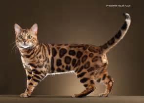 bengal cat breeders bengal kittens for in breeder brown silver