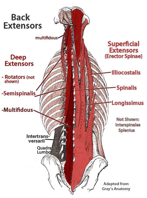 Deep Muscles Of The Back Muscles 7 Deep Muscles Of Back Anatomy Deep Muscles Of