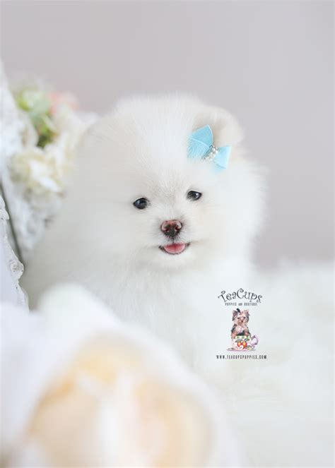 snow white pomeranian puppies teacup puppies boutique