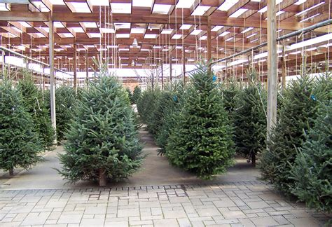 large christmas trees for sale trees for sale free stock photo domain pictures