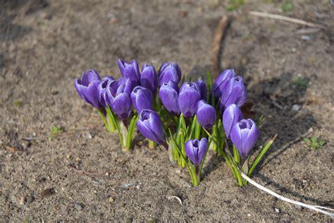 kommt der frühling der fr 252 hling kommt foto bild pflanzen pilze flechten bl 252 ten kleinpflanzen